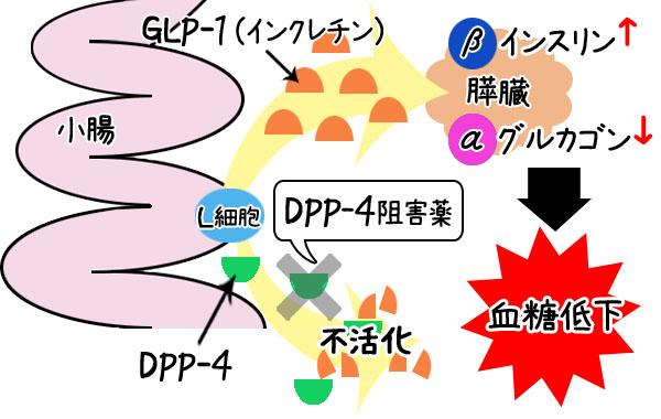 DPP-4阻害剤の作用機序